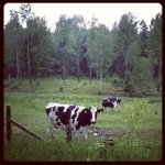 It appears Swedish cows are similar to Canadian cows
